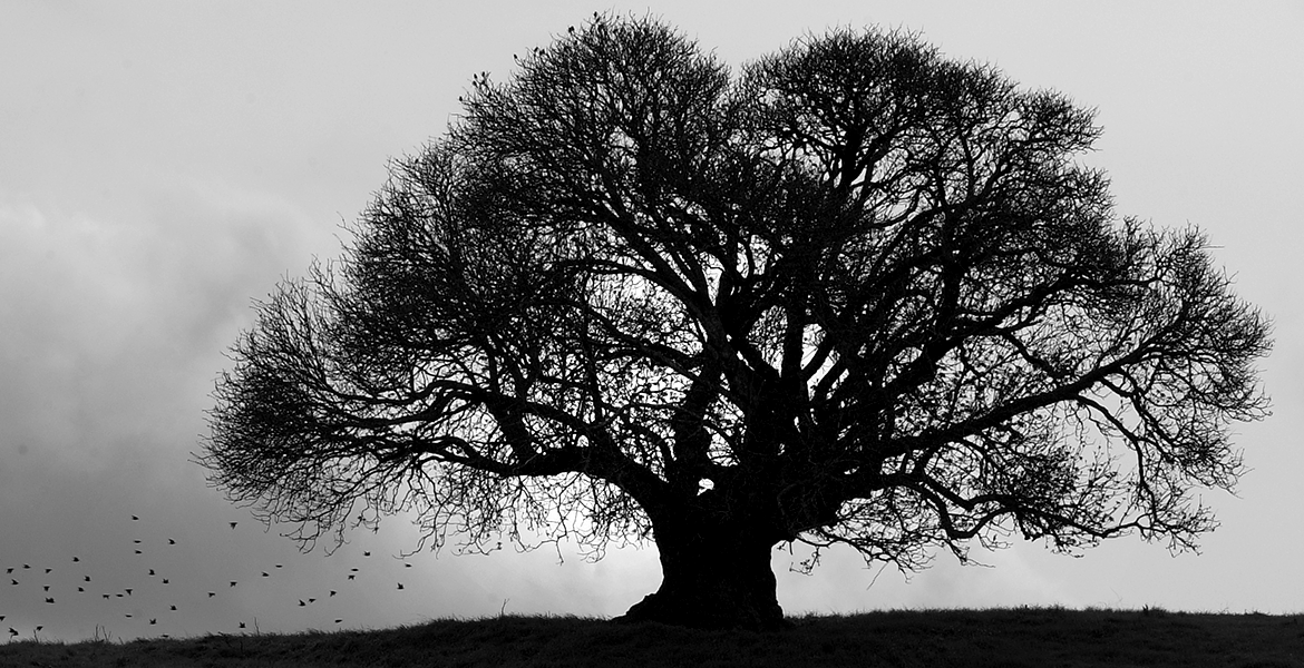 The Cabellaro Oak